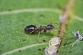 Ant retrieving a drop of mielleat an aphid