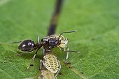 Garden ants recovering from aphid honeydew