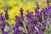French lavender blossoms in spring Var France