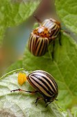 Colorado Potato Beetle mating and oviposition on leaf