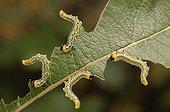Hazel Sawfly larvae on a leaf France