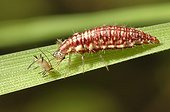 Lacewing larva eating an aphid on a leaf France