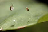 Lacewing larva hatching, France