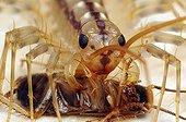 House centipede predation France