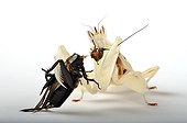 Orchid Mantis eating a cricket over white background