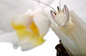 Orchid Mantis on white background