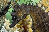 Portrait of Long-snouted seahorse Brittany France