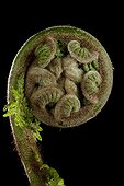 Pistol grip of Dicksonia Fern on a black background