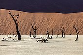 Dead Vlei Sossusvlei dead acacia Namib Desert Namibia ; The lake was originally fed by the waters of a small seasonal stream. Dunes eventually the enclave, interrupting his diet. The trees did not survive the lack of water.