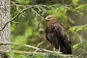 Lesser Spotted Eagle on a branch Bavaria Germany