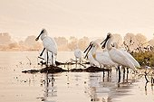 Eurasian Spoonbills at dawn Lake Kerkini Greece