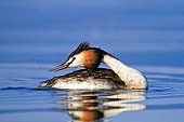 Great Grebe on the water Lake Kerkini Greece