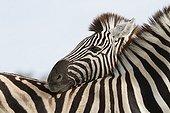 Plain zebras touching Etosha NP Namibia
