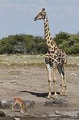 Impala and Giraffe in waterhole Etosha NP Namibia