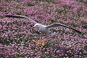 Backed Gull landing in Thrift seapink