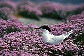 Sandwich Tern in Thrift seapink blooming