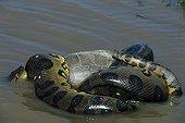 Anaconda killing a turtle Llanos of Venezuela