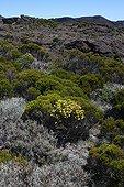 Pioneer flora and Reunion Heath of the Piton de la Fournaise