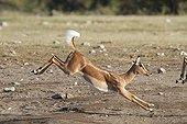 Impala black-faced running in the Etosha NP Namibia
