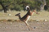 Impala black-faced jumping in the Etosha NP Namibia