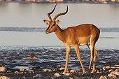 Impala black-faced at sunset in the Etosha NP Namibia