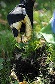 Plantation of muscaris 'Valérie Finnis' bulbs in a garden ; Designer: Pierre-Alexandre RISSER<br>