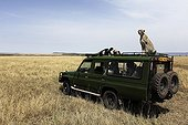 Cheetah sitting on a vehicle vision Masai Mara Kenya