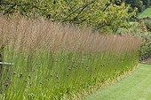 Moorgrass 'Transparent' and purpletop vervain in a garden ; Subsp. arundinacea