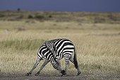 Grant's zebra in the savannah Masai Mara Kenya