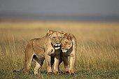 Lioness and her daughter in the savannah Masai Mara Kenya