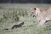 Lioness chasing a marsh mongoose Masai Mara Kenya