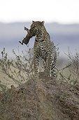 Leopard stifling a young warthog Masai Mara Kenya