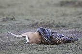African rock python swallowing a Thomson's gazelle male