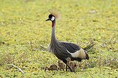 East African Crowned Crane and chicks in a marsh Masai Mara