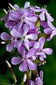 Saponaria officinalis flowering Pyrenees Catalonia Spain