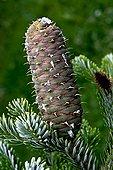 Mature white fir cone Pyrenees Catalonia Spain