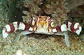 Harlequin Crab on Reef Indonesia Sulawesi