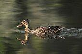 Female mallard swimming on a pond Touraine France