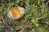Mallard egg broken by a predator France