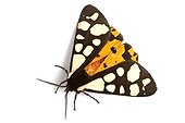 Cream-spot Tiger open wings on white background