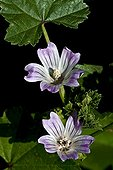 Common mallow in bloom