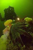 Plumose Anemone and Diver White Sea Karelia Russia