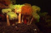 Plumose Anemones White Sea Karelia Russia