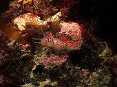 Sea Slug White Sea Karelia Russia