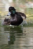 Male tufted duck snorting on the water