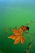 Plane leaves and Myriophyllum in water Spain