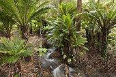 Tree Ferns near a stream New Caledonia