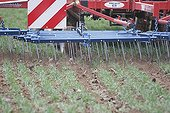 Mechanical weeding a wheat field Alsace France