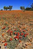 Gazania flowersSouth Africa