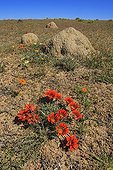 Gazanies flowers and termite Namaqualand South Africa